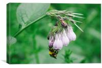 Bumble bee collecting nectar from a Common Comfrey, Canvas Print