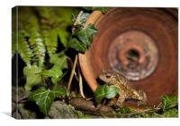 COMMON TOAD, Canvas Print