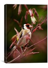 GOLDFINCH AND ACER, Canvas Print
