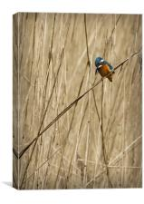 KINGFISHER IN THE REEDS, Canvas Print