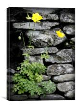 WELSH POPPY, Canvas Print