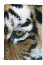 Eye of the tiger, Canvas Print