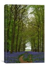 Bluebells and Beech Trees, Canvas Print