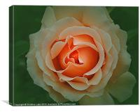 Memory of a Rose, Canvas Print