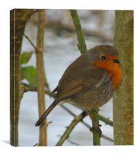 Robin Red Breast.Wales., Canvas Print