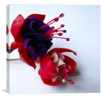 Fuschia's, Canvas Print