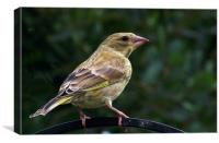 Young Greenfinch, Canvas Print