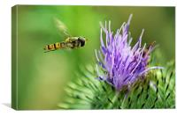 Hover to a Thistle, Canvas Print