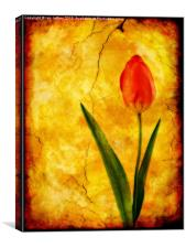 Single Red Tulip, Canvas Print