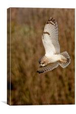 Owl hovering, Canvas Print