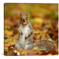 Squirrel with chestnut in autumn leaves, Canvas Print