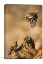 Divebombing chaffinch, Canvas Print