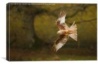 Leucistic Red Kite flies in front of tree, Canvas Print