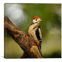 Juvenile Great Spotted Woodpecker, Canvas Print