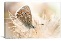 Common blue butterfly, Canvas Print
