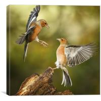 Squabbling chaffinches, Canvas Print