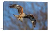 Red kite soaring in winter sunlight, Canvas Print