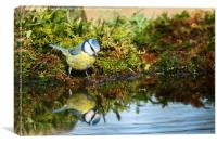 Blue tit reflecting, Canvas Print