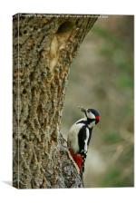 Greater Spotted Woodpecker brings food, Canvas Print