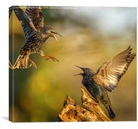 Starling fracas, Canvas Print