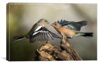 Chaffinch fight, Canvas Print