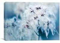 Cotton Grass Seedheads, Canvas Print