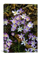 Spring crocus, Canvas Print