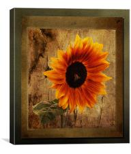 Sunflower Framed, Canvas Print