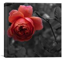 Blooming Rose, Canvas Print