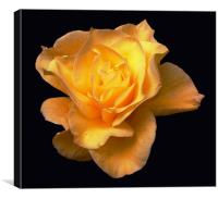 Glorious Yellow Rose, Canvas Print