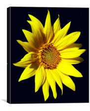 Glorious Sunflower, Canvas Print