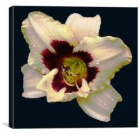 Glorious 2 Colour Lily, Canvas Print