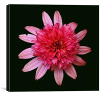 Bunched Up Pink Flower, Canvas Print