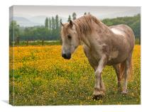 Buttercup Pony, Canvas Print