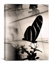 Old fashioned butterfly, Canvas Print