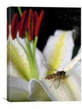 hover fly and lilies, Canvas Print