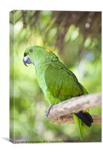 Yellow-naped Parrot, Canvas Print