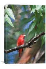 Red Summer Tanager, Canvas Print
