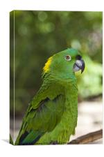 Yellow Naped parrot, Canvas Print
