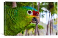 red-lored amazon parrot, Canvas Print