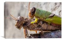 two crickets mating, Canvas Print