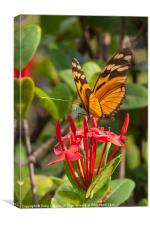 butterfly on red rubiaceae, Canvas Print