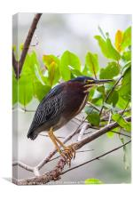 Green Heron in a tree, Canvas Print