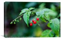 bright red berries, Canvas Print