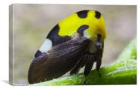 yellow and black treehopper, Canvas Print