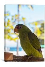baby parrot, Canvas Print
