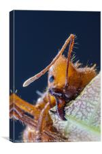 Leaf cutter ant at work, Canvas Print