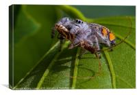 jumping spider with prey, Canvas Print