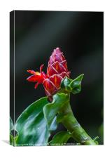 red ginger flower, Canvas Print