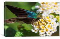 Blue Flasher butterfly, Canvas Print